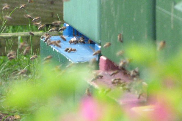 Bienen fliegen in eine Segeberger Beute - Termine